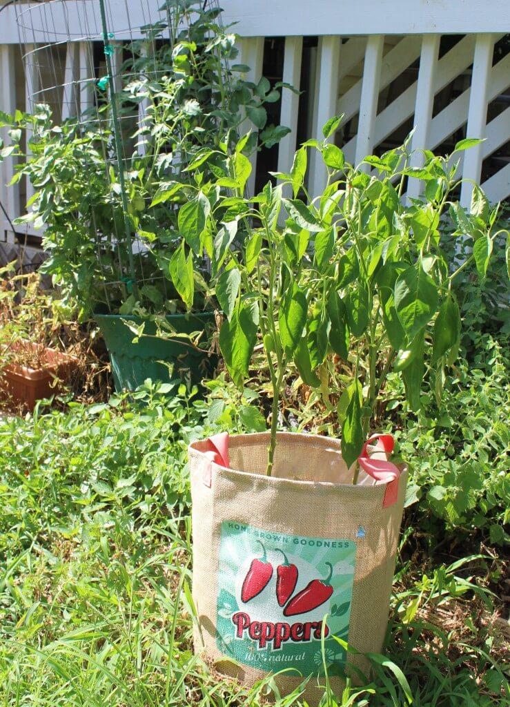 pepper plant in garden