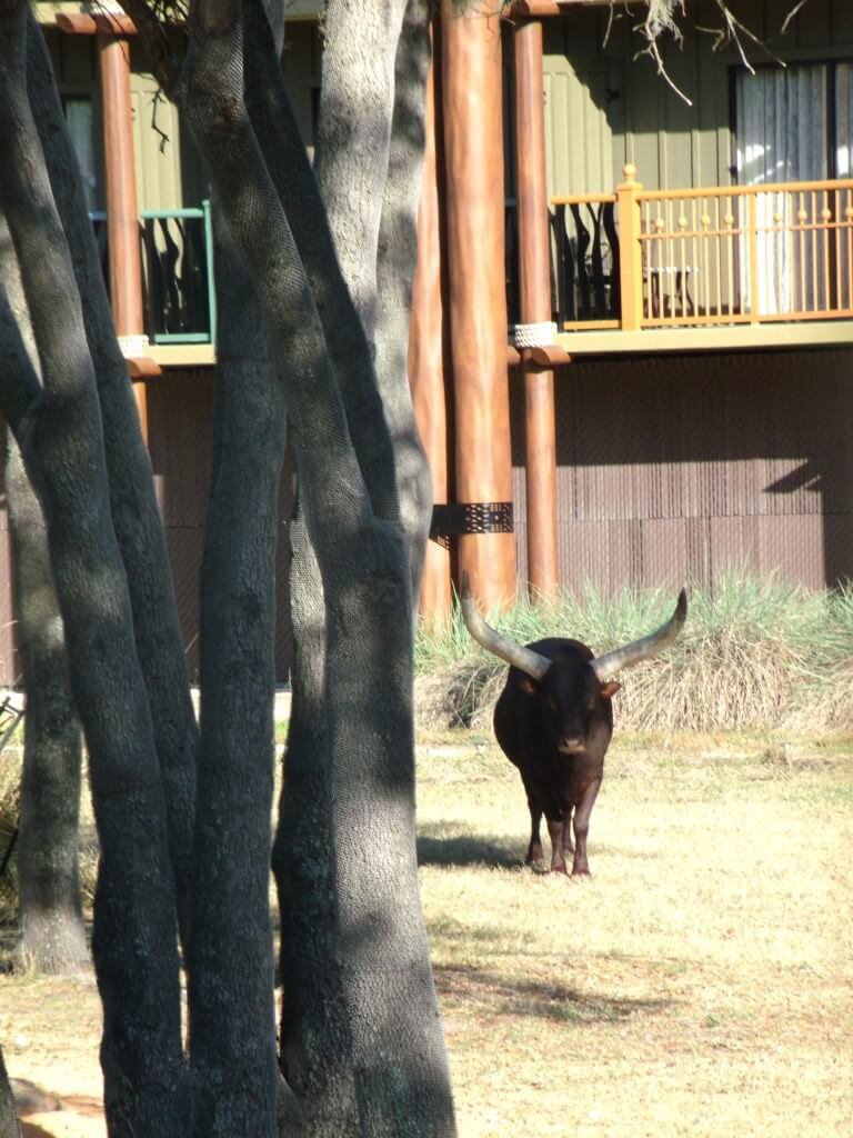 Ankole Cattle at Animal Kingdom Lodge