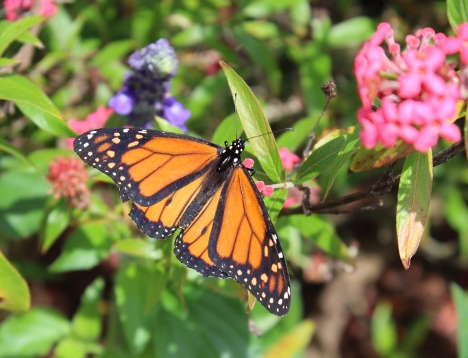 monarch butterfly at flower and garden epcot