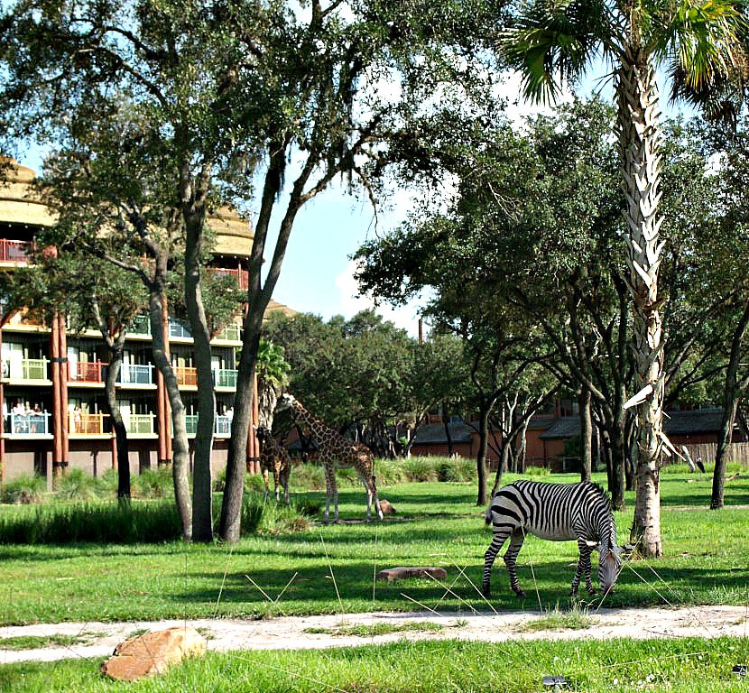 zebra at animal kingdom lodge resort